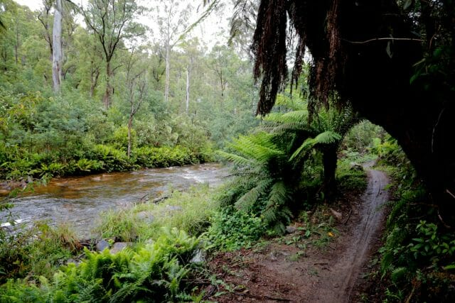 The Delatite river roared beside the final section of the trail, crystal clear and lined with massive green ferns.